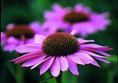 Echinacea - Mittel gegen Grippe